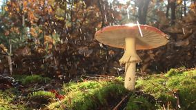 Blasser Taucher und roter Wulstling, wachsend im Wald auf grünem Moos An einem regnerischen Tag stock footage