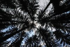Blast av granar, träd med stammar mot himlen arkivbild