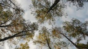 Blast av träden som täckas med gula sidor i höst, parkerar lager videofilmer