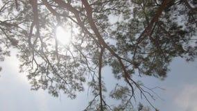 Blast och filialer av härliga barrträd i parkerar Himmel och natur arkivfilmer