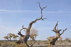 Blasted tree. Blasted Hu Yang tree in desert Stock Photos