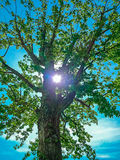 Blasted tree in spring on a blue sky. In the sun Royalty Free Stock Photos