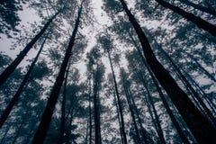 Blasten av sörjaträden i en mystisk dimma Arkivbilder