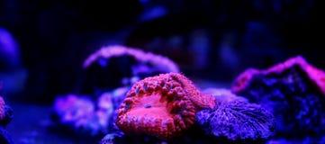 Blastomusa-Koralle im Korallenriffaquarium Stockfoto