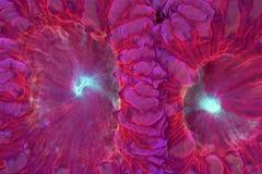 Blastomussa cor-de-rosa e vermelho brilhante Fotografia de Stock