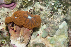 Blastomussa-Koralle Lizenzfreie Stockfotos