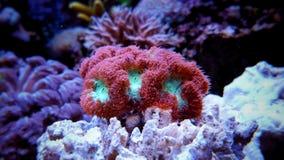 Blastomussa-Langspielplatten korallenrot Lizenzfreies Stockbild