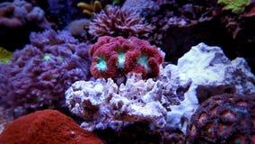 Blastomussa-Langspielplatten korallenrot Stockfotografie
