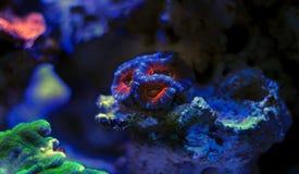 Blastomussa-Langspielplatten korallenrot im Riffaquariumbehälter Lizenzfreie Stockfotos
