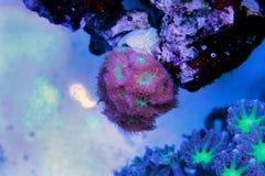 Blastomussa-Langspielplatten korallenrot im Riffaquariumbehälter Stockfotos