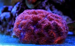 Blastomussa-Langspielplatten korallenrot im Riffaquariumbehälter Lizenzfreies Stockbild