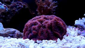 Blastomussa-Langspielplatten korallenrot im Riffaquariumbehälter Stockfoto