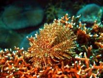 blaszek morza dżdżownicy Fotografia Stock