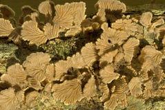 Blaszka grzyby fruiting na nieżywym drewnie Zdjęcie Royalty Free