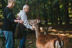 Blatna, republika czech, Wrzesień 27, 2017: Starsi ludzi karma rogacza w lesie blisko parka z Blatna kasztelem Zdjęcie Royalty Free