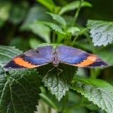 Blatt ähnlicher Schmetterling auf grünem Blatt lizenzfreies stockbild