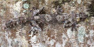Blatt-angebundener Gecko stockfotos