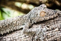 Blatt-angebundener Gecko lizenzfreies stockfoto