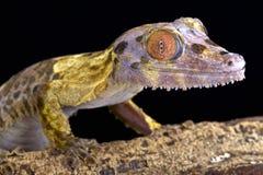 Blatt-angebundener Gecko (Uroplatus-henkeli) stockbilder
