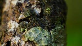 Blatt-angebundener Gecko, Uroplatus-sikorae, Spezies des Geckos mit der Fähigkeit, seine Hautfarbe zu ändern, um seine Umgebungen stockfoto