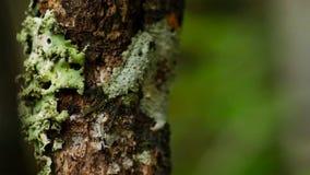 Blatt-angebundener Gecko, Uroplatus-sikorae, Spezies des Geckos mit der Fähigkeit, seine Hautfarbe zu ändern, um seine Umgebungen stockbilder