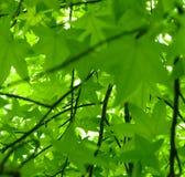 Blatt-Ansicht des Frühlinges. Süßer Gummi (Liquidambar styraciflua) Lizenzfreie Stockfotografie