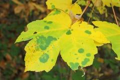 Blatt auf der Niederlassung im Herbst Stockbild