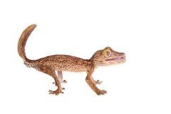 Blatt-ausgewichener Gecko, unknow uroplatus, auf Weiß lizenzfreie stockfotos