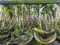 Blatt Dendrobiumorchidee im Garten Stockfotografie