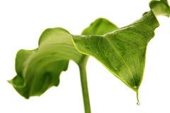 Blatt der Arumlilie und -tröpfchens Lizenzfreies Stockbild