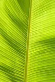 Blatt der Banane stockfoto