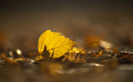 Blatt der gelben Birke im Frühherbst Stockfotografie