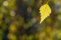 Blatt der gelben Birke im Herbstfarbton Stockfotografie