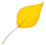 Blatt der gelben Pappel lokalisiert Stockbild