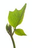 Blatt der grünen Bohne lizenzfreies stockbild