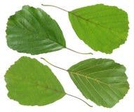 Blatt der grünen Erle Stockfotografie
