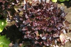 Blatt der roten Eiche des Kopfsalates Stockfoto