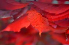 Blatt der roten Trauben Stockfoto