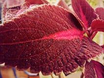 Blatt der Weinfarbe im Garten Stockbild
