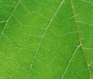 Blatt der Weintraube Lizenzfreie Stockfotografie