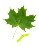 Blatt des Ahornbaums (Acer Platanoides) mit Frucht (Samara) Stockfoto