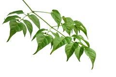 Blatt des indischen Korkenbaums Lizenzfreies Stockbild