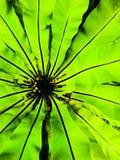 Blatt des langen Grüns und schwarze Linie Vogelnestfarn Aspleniumnest Lizenzfreie Stockbilder