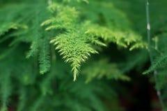 Blatt des neuen saftigen grünen Wachsens des Spargels Lizenzfreie Stockfotografie
