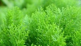 Blatt des PinaceaeStammbaums Stockbild