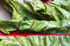 Blatt des Rotes - aufgehaltenes Mangoldgemüse Stockfotos