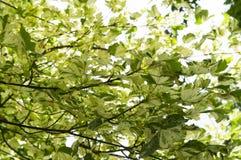 Blatt-Drummond Norway-Ahorn Acer-platanoides Drummondii in den Strahlen des hellen Sonnenscheins Stockbilder