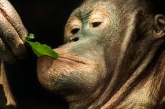 Blatt-eine Kleinigkeit essender Orang-Utan Stockfotografie