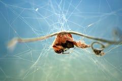 Blatt in einem Spinnenweb Stockbild