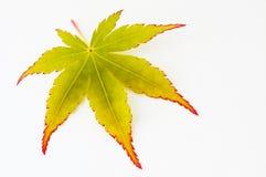Blatt eines Baums des japanischen Ahornholzes Lizenzfreies Stockbild